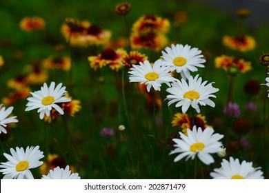 Shasta Daisy on defocused Gaillardia background
