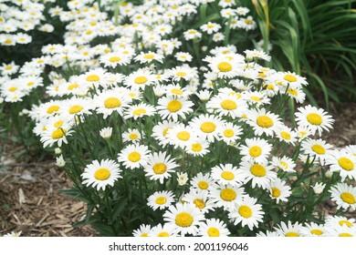 Shasta daisy on a sunny day at park in Ontario Canada
