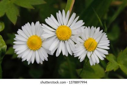 Shasta daisy, White flowers