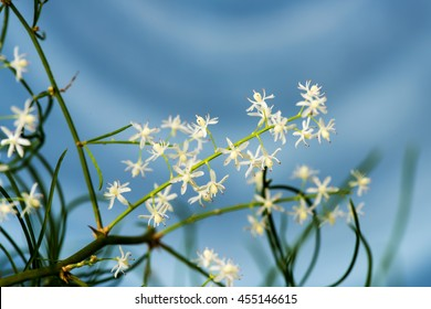 Shatavari (Asparagus racemosus Willd.) Flowers, Herbs with medicinal properties.