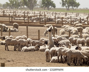 Shaved sheep on sheep farm in Colorado.