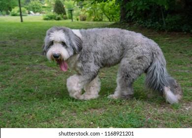Shaved or short hair Old english Sheperd sheepdog