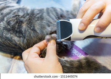 Shaving testicles for feline orchiectomy by a veterinarian