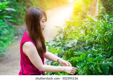 She is harvesting coffee seed in sunrise, color tone, soft light