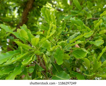 the Shea leaves