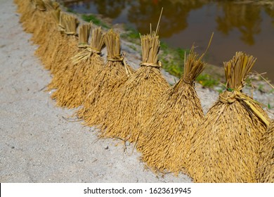 Sheaf ear of rice to sun exposure to moisture on row after harvesting at the farm with pond background