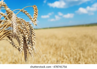 Sheaf of wheat on the background of the large field of ripe wheat and blue sky with white clouds
