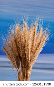 Sheaf of wheat on the blue background
