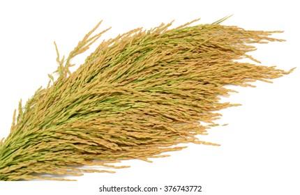 sheaf yellow rice isolated on white background