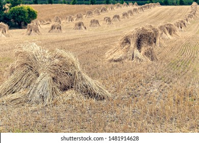Sheafs of wheat on the background of the large field of ripe wheat
