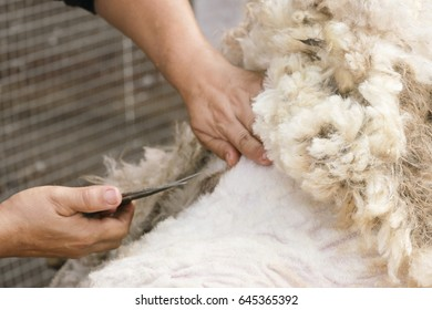 Shearing. Man's hand with scissors cuts the hair with a white sheep