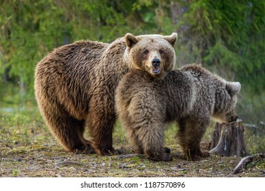 She-bear and bear-cub. Adult female of Brown Bear and cub in the forest at summer time. Scientific name: Ursus arctos.