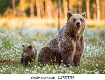 She-bear and bear-cub. Cub and Adult female of Brown Bear  in the forest at summer time. Scientific name: Ursus arctos.