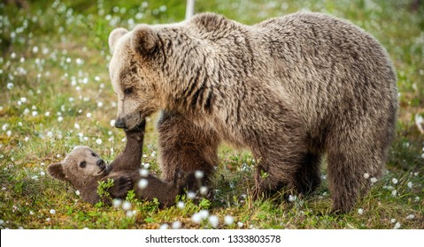 She-bear and bear-cubs of Brown Bear in the forest at summer time. Scientific name: Ursus arctos