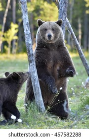 The She-Bear and Cub of Brown Bear (Ursus Arctos) standing on hinder legs  in the summer forest  Natural green Background