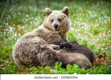 She-Bear feeding breast milk cubs. Brown bear, Scientific name: Ursus Arctos. Summertime.