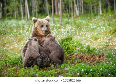 She-Bear feeding breast milk cubs. Brown bear, Scientific name: Ursus Arctos. Summertime.