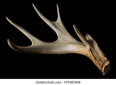 Shed antler from a Whitetail Deer Isolated on Black Close Up