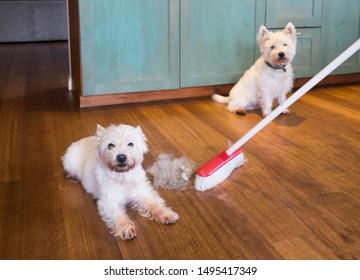 犬の毛を落とす:家の中の西の高原の白いテリアーが毛を抜いて汚い毛を広げる箒
