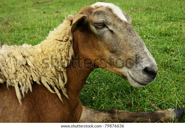Shedding Hair Sheep On Family Farm Stock Photo (Edit Now