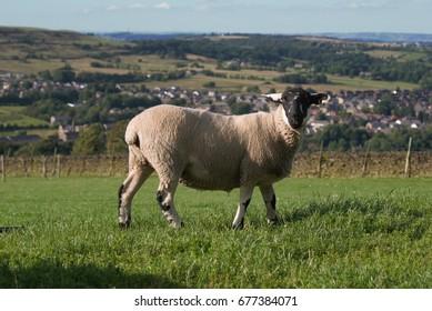 Sheep above Huddersfield