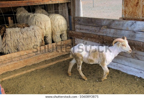Sheep after spring shearing