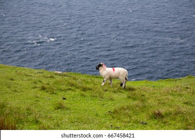 Sheep along the famous Sliabh Liag Cliffs in Donegal, Ireland