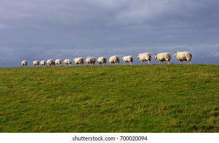 sheep, Ameland.