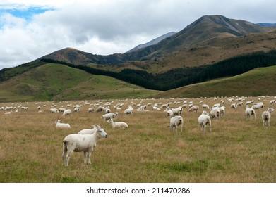 Sheep among New Zealand hills