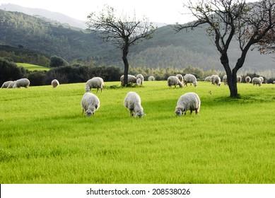Sheep/ animals grazing before milking.