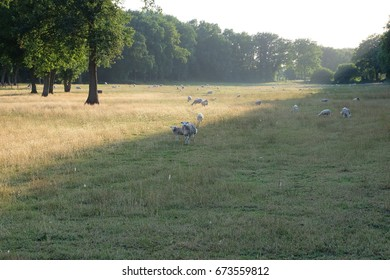 Sheep ans lambs in field with trees by sunset