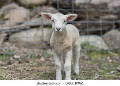 Sheep & Baby Lambs On Small Family Farm
