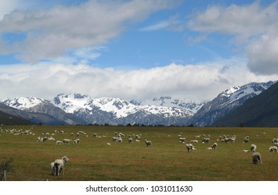Sheep at the base of the Southern Alps, South Island, New Zealand