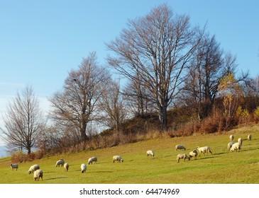sheep be at grass