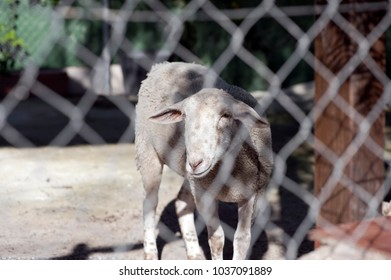 a sheep behind a fence