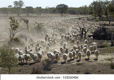 Sheep being mustered in the far north west of New South Wales, Australia.