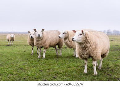 Sheep in Belgium. Group of beautiful sheep grazing on a green wet meadow with foggy background near the north sea in Belgium. One sheep in focus in foreground.
