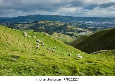 Sheep in Belmont Regional Park, Wellington, New Zealand