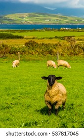 Sheep with black head in Ireland
