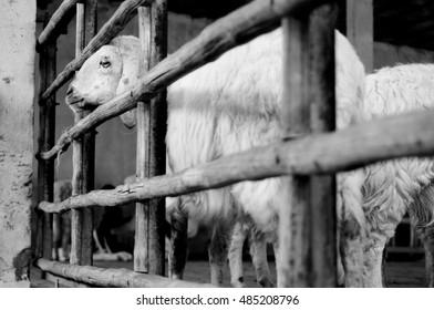 sheep  black white