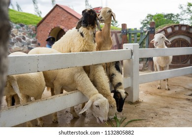 Sheep in a cage farm