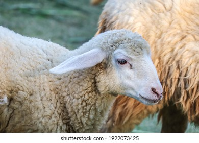 Sheep chewing on grass. Fresh toning. Lamb closeup. Funny cute sheep walk in the pasture. Lambs pose for the camera.