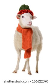Sheep in Christmas clothes. animal isolated on white background