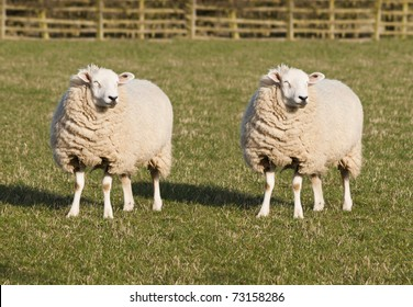 Sheep Cloning. Two identical sheep standing in a field.