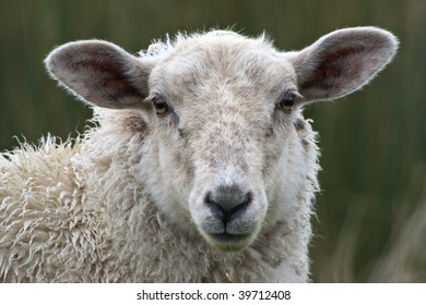 Sheep close up with shallow depth of field