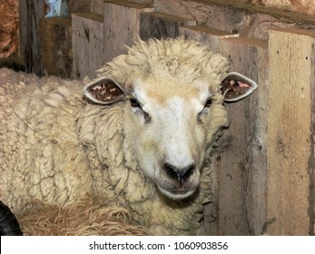 Sheep: closeup of animal head and shoulders, and wool
