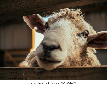 Sheep Close-up Eye - New Zealand