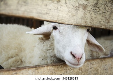 A sheep in the corral