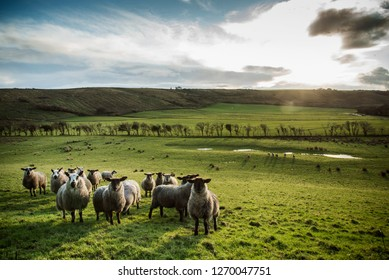 Sheep, Country Field, Ireland, Rural, Background, Field, Trees, Sunset, Livestock, Countryside