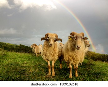 Sheep couple in a field in front of a beautiful rainbow, Camino del Norte or the Northern Saint James Way, pilgrimage route along the Northern coast of Spain
